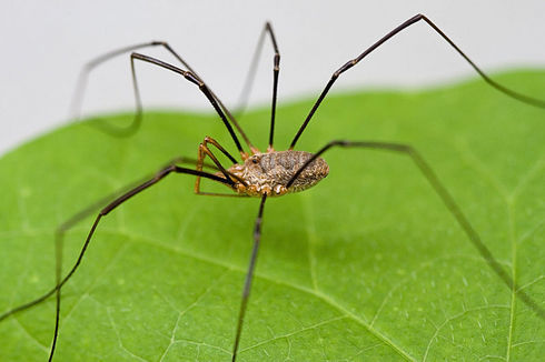 800px-Harvestmen_Close_Macro.jpg