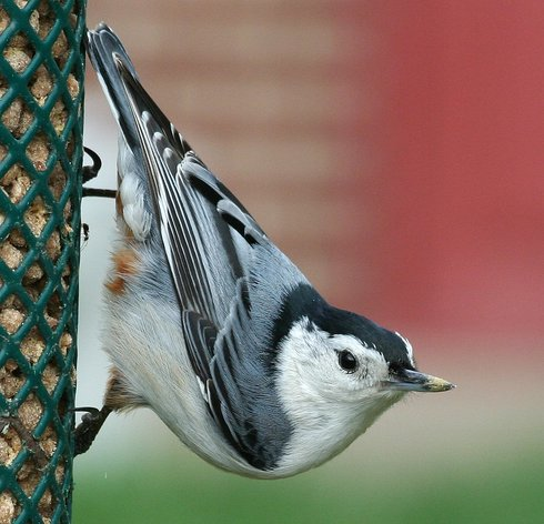 white-breasted_nuthatch(BirdsofOurYard,atPresidentavenue).jpg